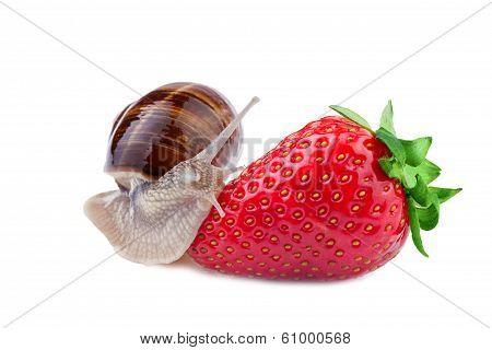 garden snail creeps on a strawberry