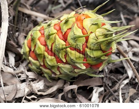 Australiana, Female Fruit Cone Of Ancient Plant, Australian Cycad, Macrozamia Miquelii