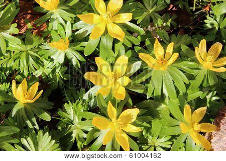 Yellow Eranthis Flower In Early Spring