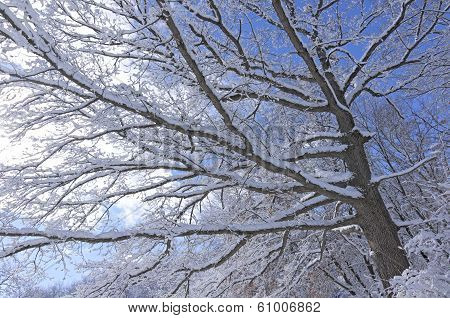 Snowy Tree Boughs Across Sky