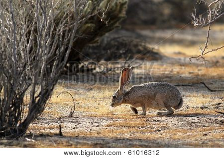 Black-tailed Jackrabbit Sniffing