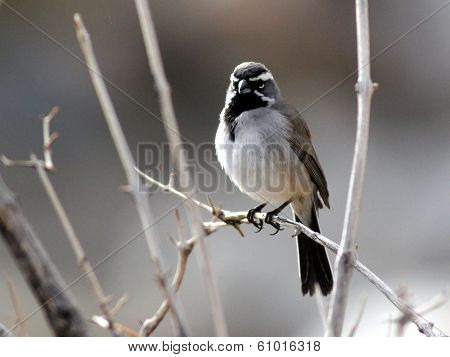 Black-throated Sparrow Backlit