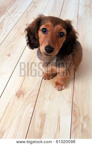 Longhair dachshund puppy on a wooden floor.
