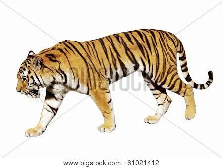 tiger on white