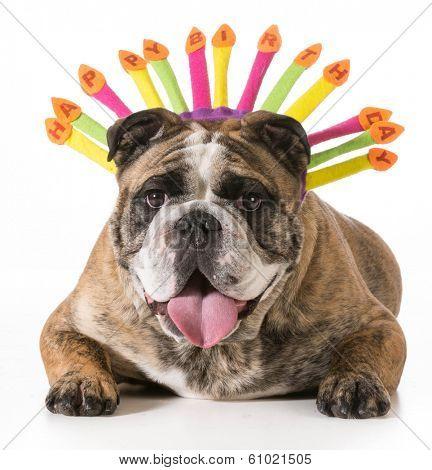 english bulldog wearing happy birthday hat - 2 year old brindle male