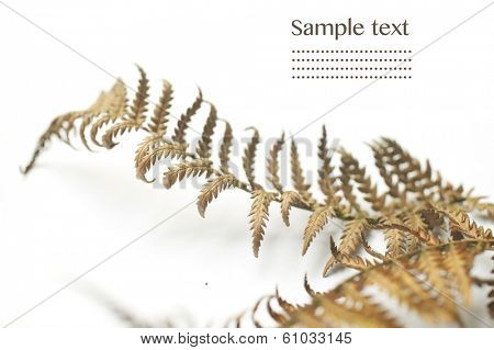 fern fronds against white background