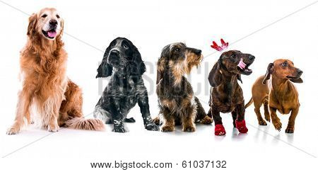Set photos of dogs  different breeds. Isolated on white background