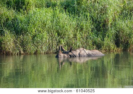 Rino Baths In Water In River Near Chitwan National Park, Nepal