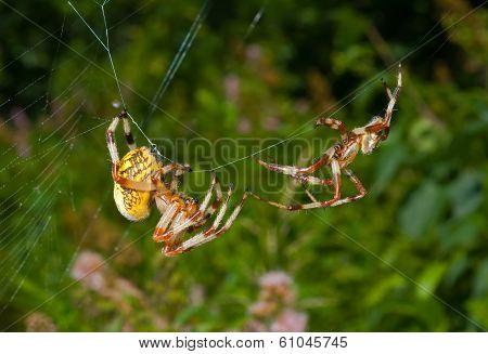 Flirtation Of Spiders