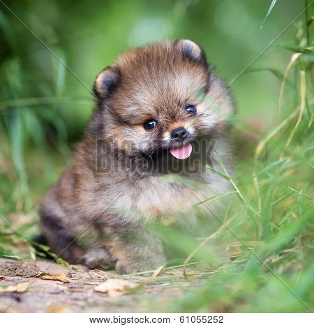 Small Pomeranian Puppy In Grass