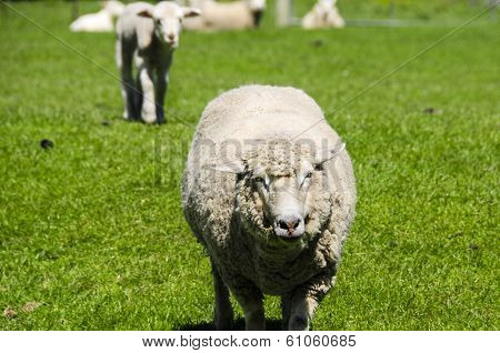 Closeup Of A Ewe