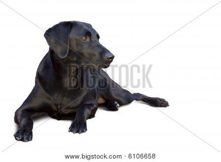 Graceful black labrador watching
