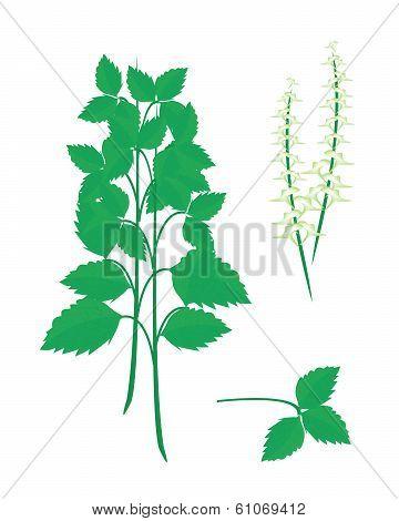 Parts Of Holy Basil Plant On White Background
