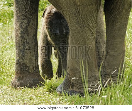 Newborn Asian Elephant