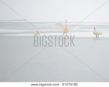 Tundra Swans at Water's Edge