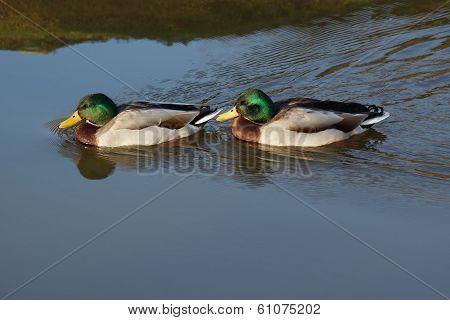 Duck - Mallard - Anas Platyrhynchos
