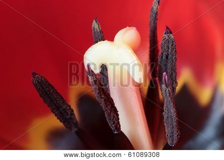 Tulipa Intestines