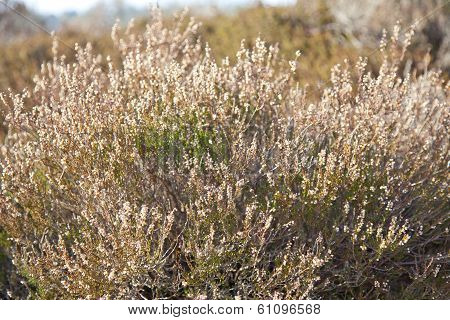 Heather Plant In Moorland In Drenthe, The Netherlands