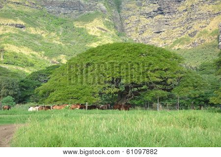 Big Tree Near The Mountain. Hawaii