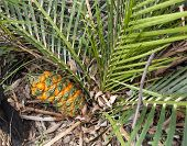 stock photo of plant species  - Protected species Australian cycad Macrozamia miquelii fern like plant with fruit in its natural eucalypt bush environment - JPG