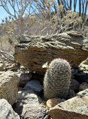 picture of anza  - A Fishhook Cactus amid rocks in the Anza - JPG