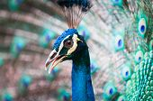 picture of indian peafowl  - An Indian peacock  - JPG
