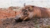 stock photo of wallow  - A warthog  - JPG