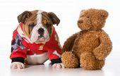 foto of standard poodle  - standard poodle puppy sitting - JPG