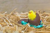 A fluffy yellow Easter chick breaking out from a chocolate egg in a barn.