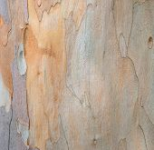 image of eucalyptus trees  - Background Of Eucalyptus Tree Bark Abstract Texture - JPG