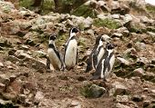 pic of ica  - Humboldt Penguin in the island Ballestas - JPG