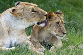 pic of lioness  - lioness walking her five cubs through Kenya - JPG