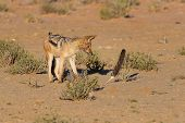 pic of jackal  - One Black backed jackal play with large feather in a dry desert having fun - JPG