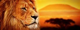 foto of lions-head  - Lion portrait on savanna landscape background and Mount Kilimanjaro at sunset - JPG