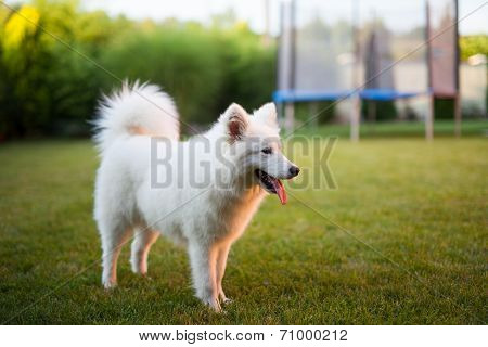 Samoyed Dog Outdoor