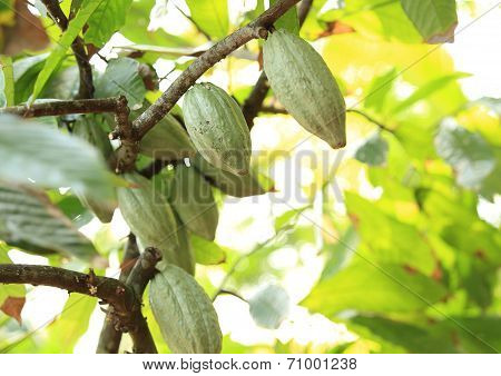 cacao fruit grow on tree