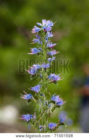 Wild Mountain Flowers