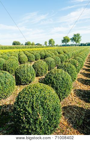 Bulbous Boxwood Bushes
