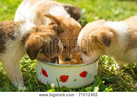 Little Puppies Eating Out Of Bowl
