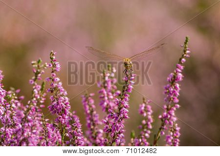 Dragonfly Resting On Heather