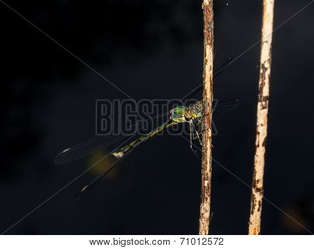 Green Damselfly At Night