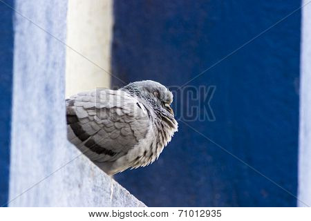 A closeup of a blue bar pigeon sleeping during middday on a parapet wall