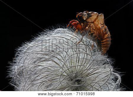 cicada bark on clematis seed head