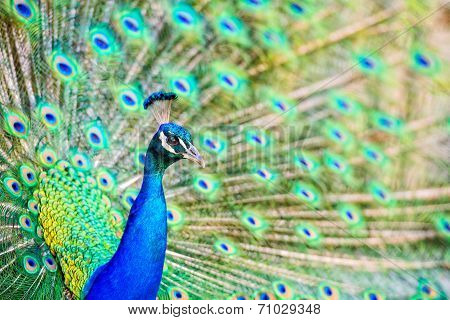 Peacock Head And Tail Display - Close Up