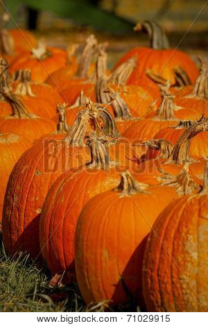 Vertical image of pumpkins in a row
