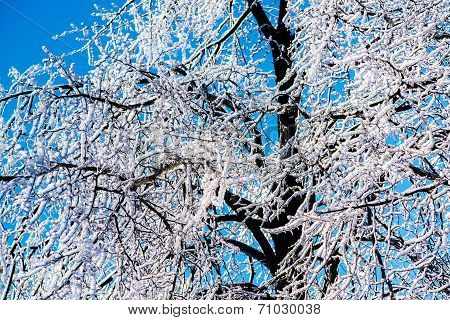 Thick Ice On Tree Branches