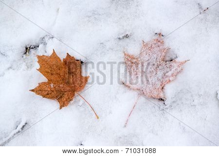 Two Maple Leaves In The Snow