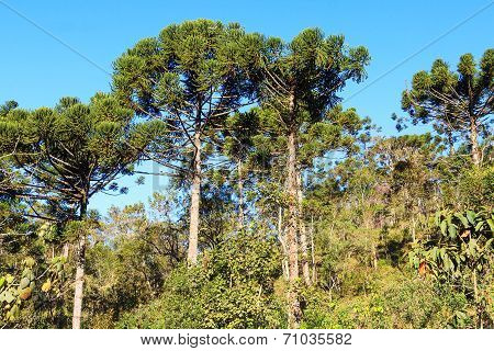 Araucaria Angustifolia ( Brazilian Pine) In Forest