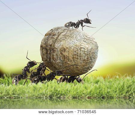 team of ants rolls stone