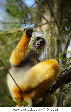 Diademed sifaka lemur on a tree's branch in a forest. Andasibe - Mantadia national park, Madagascar